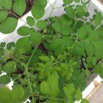 Cách trồng cây chùm ngây trong thùng xốp