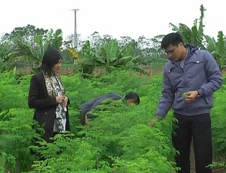 Kỹ thuật trồng và chăm sóc cây chùm ngây