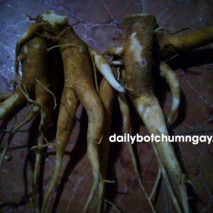 Công dụng rễ chùm ngây – Bán rễ cây chùm ngây tại hà nội