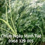 Tìm hiểu về giá trị dinh dưỡng cây Chùm Ngây – Chùm Ngây Minh Tuệ